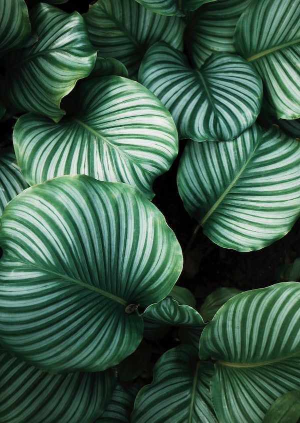 Plant with green and white leaves